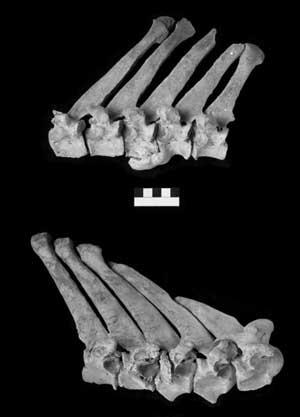 Vértebras lesionadas de los burros de abydos. (foto: pnas)