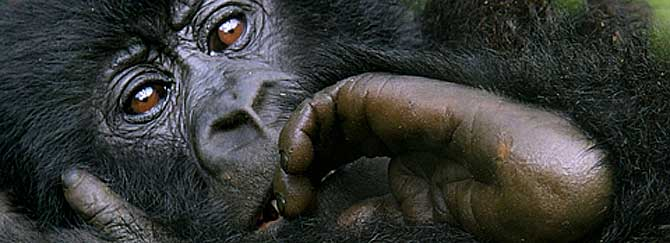 Una cría de gorila de montaña. (Foto: Gorilla-CD)