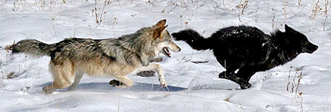Dos lobos corren sobre la nieve. | Dan Stahler