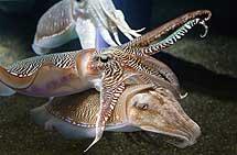 Dos sepias en el acuario de Georgia, Atlanta. | Diliff