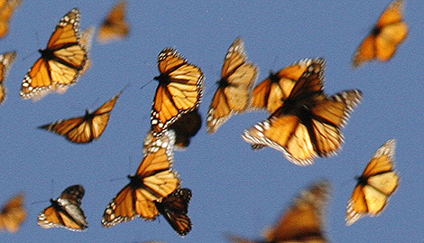 Mariposas monarca . | Monarch Watch/Chip Taylor
