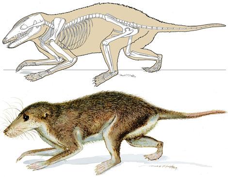 Reconstrucción artística del esqueleto y el cuerpo del nuevo mamífero. | Science