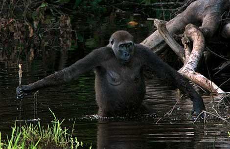 Hembra de gorila atravesando un río en el Congo. | AP.