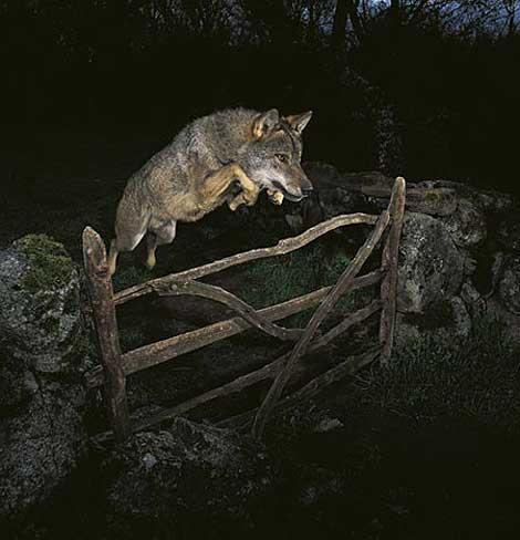 Lobo saltando sobre cerca. | José Luis Rodríguez.