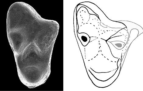 Molar del marsupial. | Foto: MNHN CNRS - RENNES1
