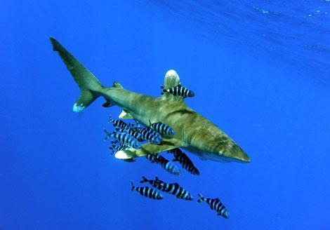 Tiburón oceánico fotografiado cerca de la costa egipcia. | Cvf-ps-