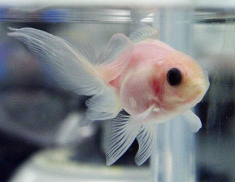 El pez transparente creado por científicos japoneses. | AFP