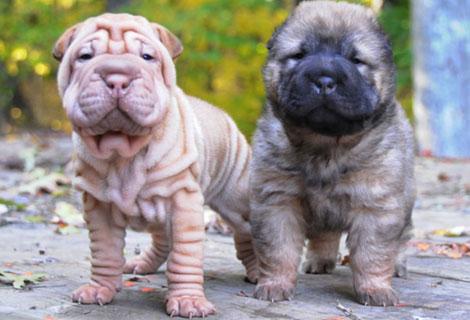 A la izquierda, un perro Shar-Pei con arrugamiento en la piel, y a la derecha sin esa mutación. |A.RUHEN/PNAS