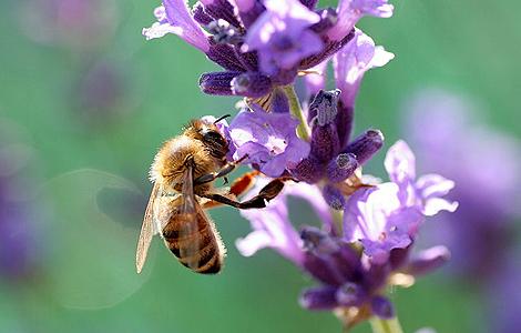 Una abeja poliniza una planta.