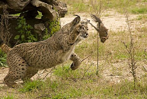 Garfio cazando en una imagen del Programa de Conservación Ex-Situ. | Lynxexsitu.es