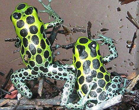 Ranitomeya variabilis