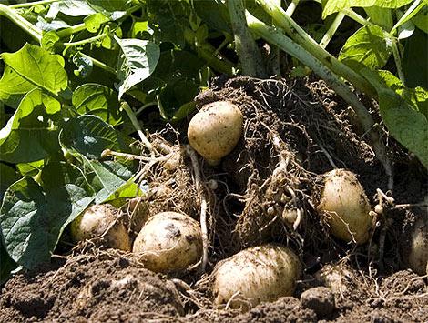 Imagen de la patata Amflora.