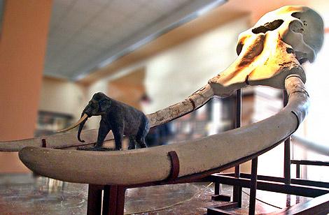 Colmillos de un Elephas antiquus.