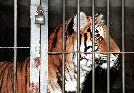 Un tigre siberiano en un zoo de Pekín. | Reuters