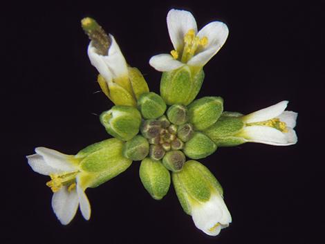 Un ejemplar de 'Arabidopsis inflorescence'. Foto: José Luis  Riechmann / Science