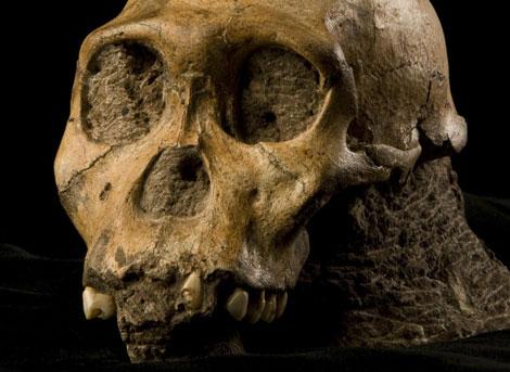 Cráneo del Australophitecus sediba encontrado en Sudáfrica - Science