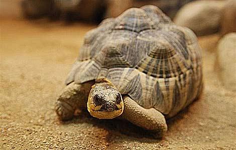 Ejemplar de tortuga radiada de Madagascar. | Kuribo | Wikimedia  Commons