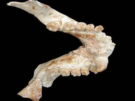 Mandíbula de un macho de Pliopithecus canmatensis. | Alba et al.
