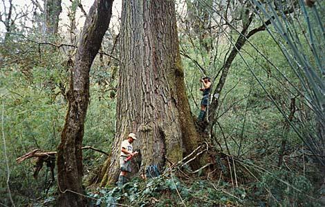 Los investigadores de anillos arbóreos tardaron dos semanas en  estudiar esta cicuta milenaria nepalí. | Brendan Buckley