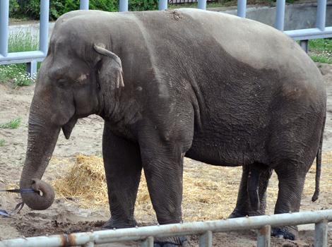 Un elefante de 39 años en un zoo de Kiev.   AFP