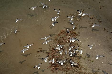 Una bandada de gaviotas en la costa de Luisisana.   Ap