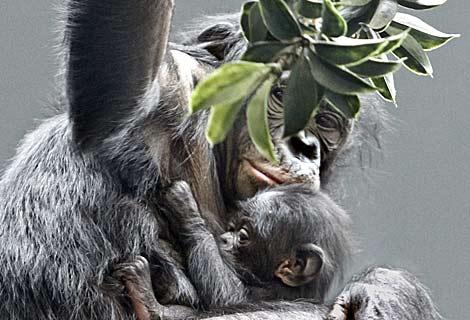 Kimia y su cría de cuatro semanas, en el zoo de Cincinatti. | Al  Behrman
