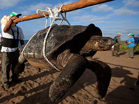 Una de las tortugas gigantes, a su llegada a Isla Pinta. | Efe