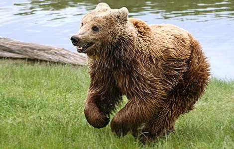 Un oso pardo. | Wikimedia
