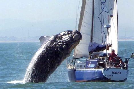 La ballena sale a la superficie y se precipita sobre el barco. | Efe