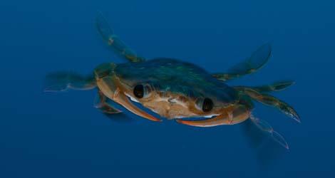 Un cangrejo nadador en la zona de protección propuesta por Oceana. | Carlos Suárez