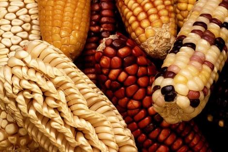 Variedades tradicionales de maíz en riesgo de desaparecer. | USDA /  Keith Weller