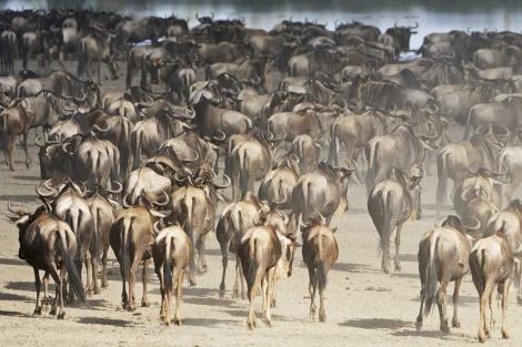 Miles de ñús cruzan el Serengeti en su migración anual. | EL MUNDO