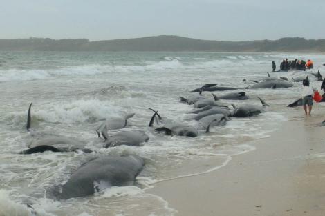 Ballenas piloto varadas en las costas de Nueva Zelanda. | Carolyn Smith