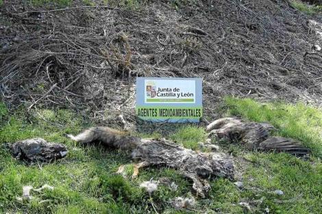 Un lobo y un zorro muertos en Cantabria por cebos envenenados. | Apafle