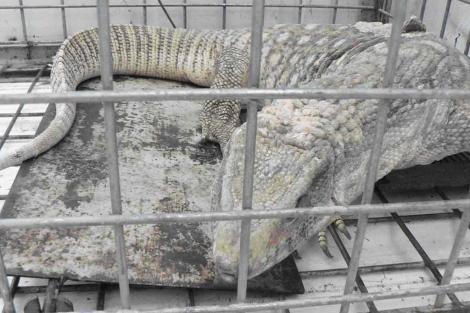 Encuentran un ejemplar de lagarto gigante africano en Matadepera 1283511873_0