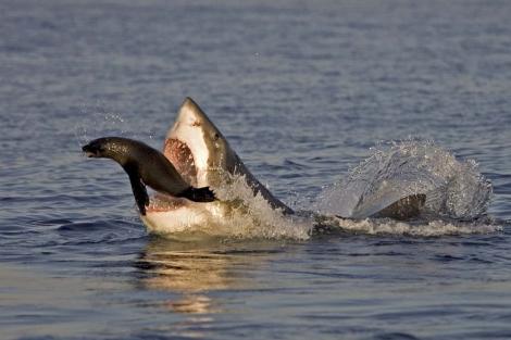 Una foca consigue zafarse de las fauces de un gran tiburón blanco. | Solent News/Chris Fallows