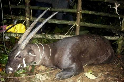 Últimas imagenes del extraño Saola aún vivo. | Reuters