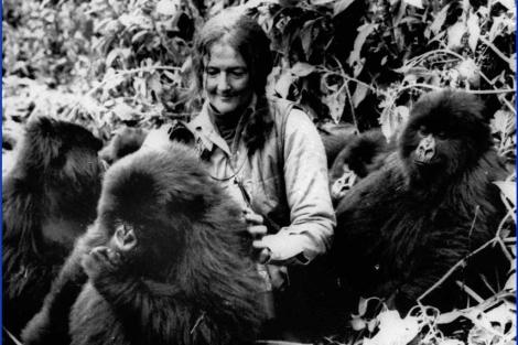 Dian Fossey, junto los gorilas de las Montañas Virunga, en Ruanada. |AP