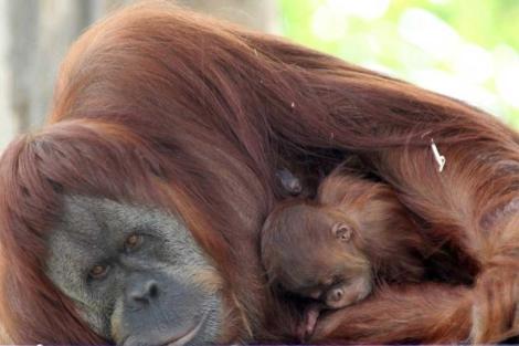 Un orangután hembra con su cría en el Zoo de Melbourne. |EFE