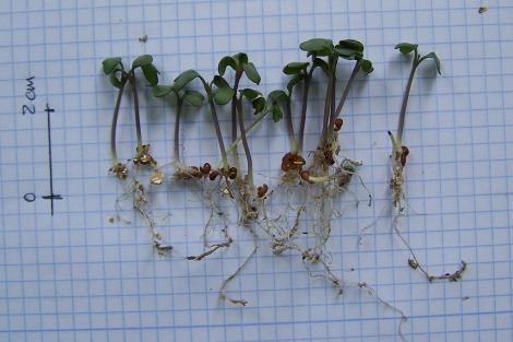 Una muestra de los brotes de brócoli germinados. | E.M.