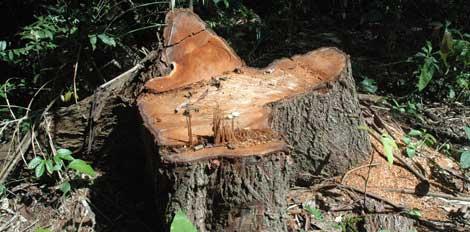 La tala de caoba amenaza a los indígenas en el sureste de Perú.   Survival International.