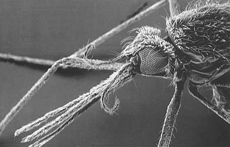 El mosquito 'Anopheles' transmite la malaria. | El Mundo.