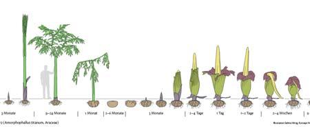 Desarrollo de la planta. | Sabine Hirsig/Konzept Heinz Schneider