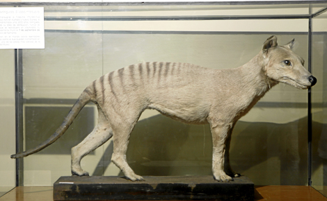 Ejemplar del extinguido lobo de Tasmania conservado en el Museo de Ciencias Naturales de Madrid. | A. Xoubanoba