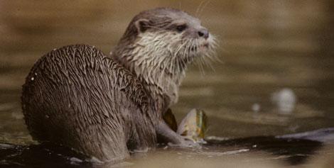 Un ejemplar de nutria en un río español. | Fundación BBVA