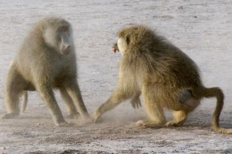 Enfrentamiento entre dos machos de babuino por el poder en Amboseli.|Science
