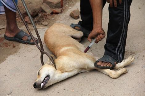 Tras ser capturado con tenazas, un perro es sacrificado con mediante una inyección de veneno en Bangladesh. | WSPA.