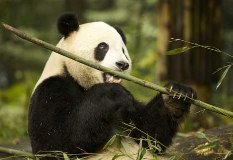 Un panda gigante en China. | Martha de Jong-Lantink.