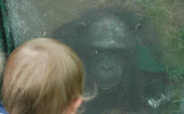 Un niño ante un chimpancé en el Zoo de Colywn Bay (Gales, Reino Unido). | EM
