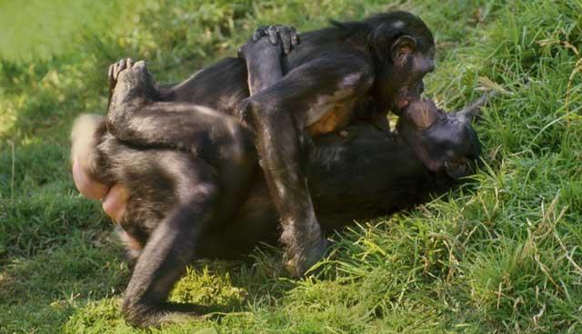 Encuentro sexual entre dos hembras de bonobo. | Corbis
